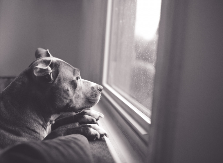 Black and white photo of a dog looking out the window on a rainy day. www.stacymaephotography.com